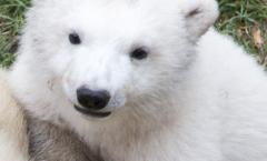 hope bébé ours blanc polaire marineland