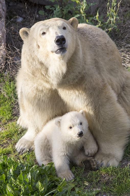 Marineland Hope bébé ourson ours blanc naissance