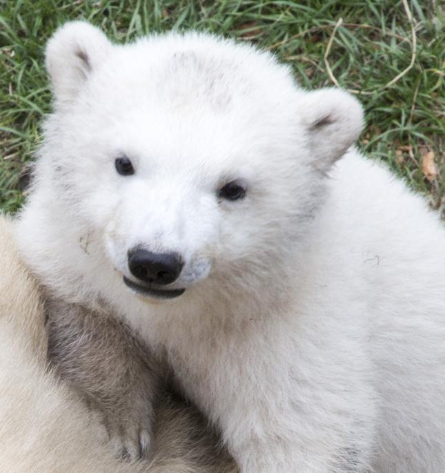 Parc Marineland Antibes Côte d'Azur : naissance d'un ours polaire !